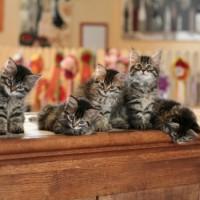 Kittens 8sem (2)
