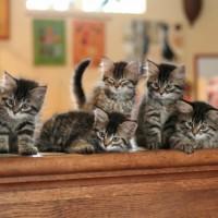 Kittens 8sem (5)