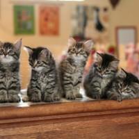 Kittens 8sem (8)