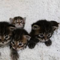 Camilla chatons 3sem (10)