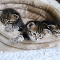 Chatons 4semaines (6)
