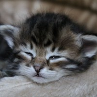 Chatons 4semaines (8)