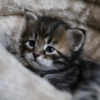 Chatons 4semaines