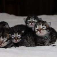Chatons 5jours (14)