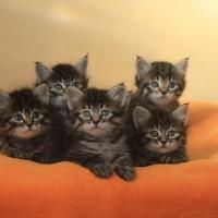 Ophelia's Kittens 5weeks (4)
