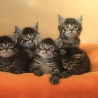 Ophelia's Kittens 5weeks (5)