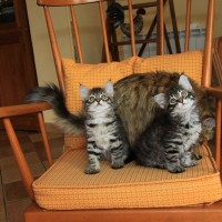chatons Camilla 2mois (1)