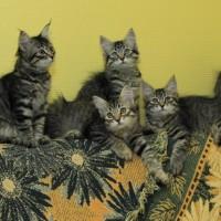 chatons Ophelia 12,5weeks (13)
