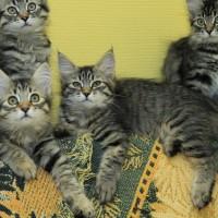 chatons Ophelia 12,5weeks (15)