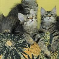 chatons Ophelia 12,5weeks (16)