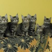 chatons Ophelia 12,5weeks (2)