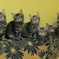 chatons Ophelia 12,5weeks (9)