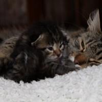 Les chatons de Felicia 16 jours (10)