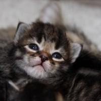 Les chatons de Felicia 16 jours (22)