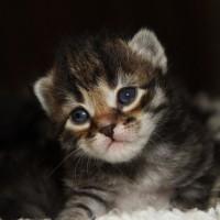 Les chatons de Felicia 16 jours (26)