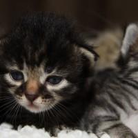 Les chatons de Felicia 16 jours (27)
