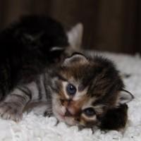 Les chatons de Felicia 16 jours (29)