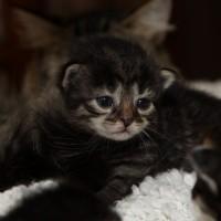 Les chatons de Felicia 16 jours (4)