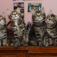 Chatons Ophelia 11 semaines (10)