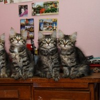 Chatons Ophelia 11 semaines (14)