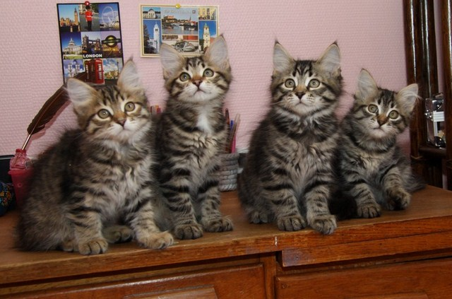 Chatons Ophelia 11 semaines (4)