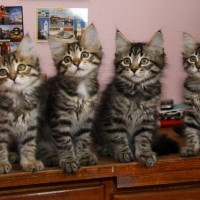 Chatons Ophelia 11 semaines (6)