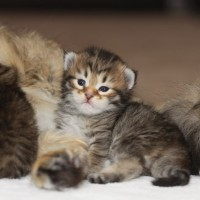 chatons 15 jours (4)