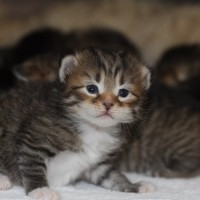 chatons 15 jours (7)