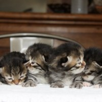 Chatons Gloria 9 jours (1)