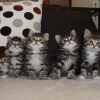 Chatons Holly 6semaines (10)