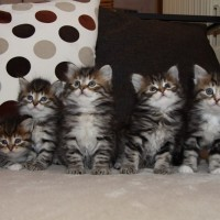 Chatons Holly 6semaines (13)