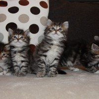 Chatons Holly 6semaines (3)