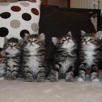 Chatons Holly 6semaines (9)
