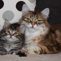 Petit matou et sa maman 6 semaines (3)