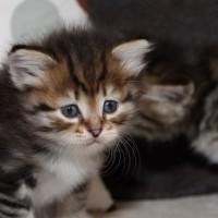 Petite chatte blotched et blanc 6 semaines (2)