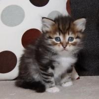 Petite chatte blotched et blanc 6 semaines (3)