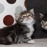 Petite chatte blotched et blanc 6semaines (6)