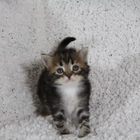 Chaton blotched clair 4 semaines  (15)