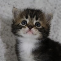 Chaton blotched clair 4 semaines  (9)