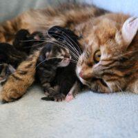Les chatons de Gorda 6 jours 16