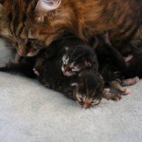 Les chatons de Gorda 6 jours28