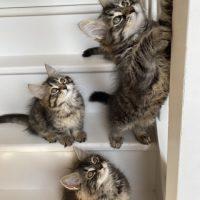 Les chatons de Lou 11 semaines 10